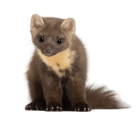weasel: European Pine Marten or pine marten, Martes martes, 4 years old, sitting against white background
