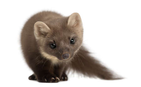 weasel: European Pine Marten or pine marten, Martes martes, 4 years old, standing against white background Stock Photo