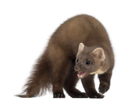 European Pine Marten or pine marten, Martes martes, 4 years old, standing against white background Stock Photo - 14276680
