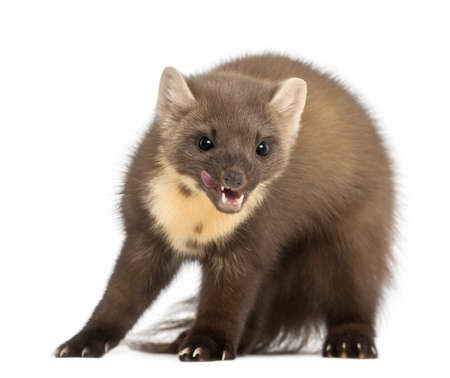 4 years old: European Pine Marten or pine marten, Martes martes, 4 years old, standing against white background Stock Photo