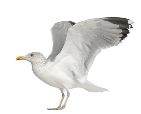 larus: European Herring Gull, Larus argentatus, 4 years old, standing against white background