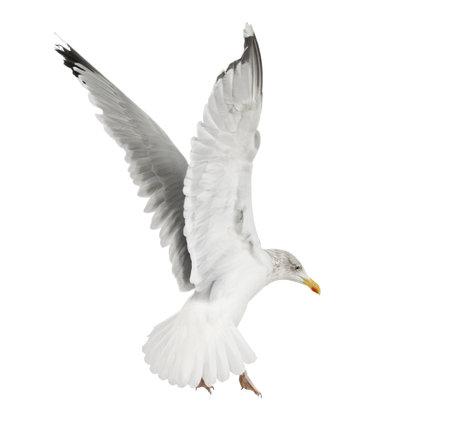 gaviota: Europea Gaviota argéntea, Larus argentatus, de 4 años, volando contra el fondo blanco Foto de archivo