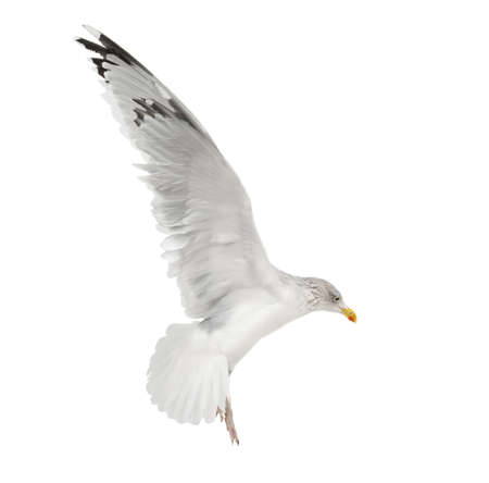 European Herring Gull, Larus argentatus, 4 years old, flying against white background photo