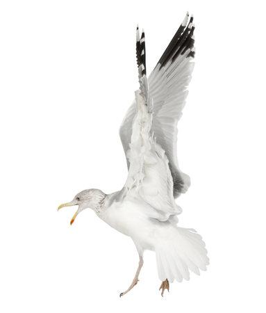 larus: European Herring Gull, Larus argentatus, 4 years old, flying against white background