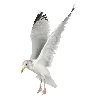 bird wings: European Herring Gull, Larus argentatus, 4 years old, flying against white background