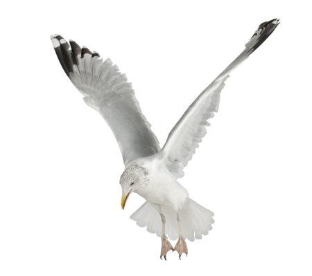 gaviota: Europea Gaviota argéntea, Larus argentatus, 4 años de edad, volando contra el fondo blanco