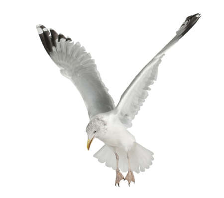 4 years old: European Herring Gull, Larus argentatus, 4 years old, flying against white background