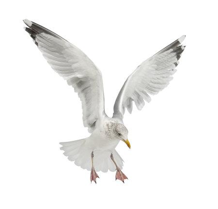 白い背景に対してセグロカモメ、下田、4 歳の飛行