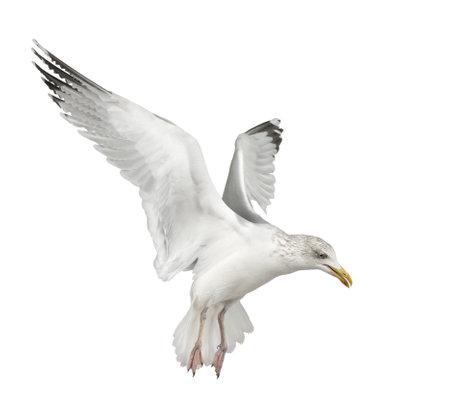Europäische Silbermöwe, Larus argentatus, 4 Jahre alt, fliegt vor weißem Hintergrund