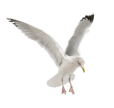 Zilvermeeuw, Larus argentatus, 4 jaar oud, vliegen tegen een witte achtergrond Stockfoto