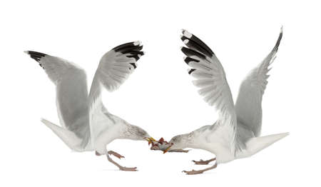 gulls: European Herring Gulls, Larus argentatus, 4 years old, fighting over fish flying against white background