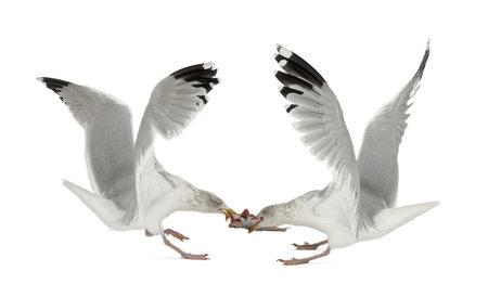 larus: European Herring Gulls, Larus argentatus, 4 years old, fighting over fish flying against white background