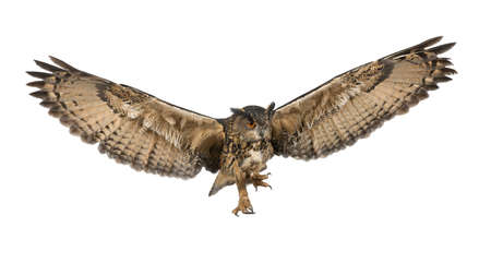 owl: Eurasian Eagle-Owl, Bubo bubo, 15 years old, flying against white background