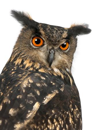 Eurasian Eagle-Owl, Bubo bubo, 15 years old, against white background photo