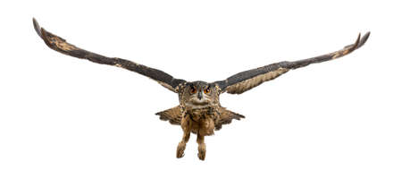 bird view: Eurasian Eagle-Owl, Bubo bubo, 15 years old, flying against white background