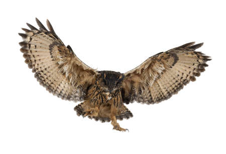 midair: Eurasian Eagle-Owl, Bubo bubo, 15 years old, flying against white background