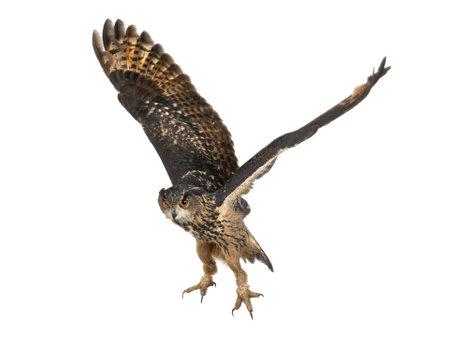 eurasian: Eurasian Eagle-Owl, Bubo bubo, 15 years old, flying against white background