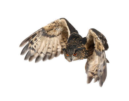 air animals: Eurasian Eagle-Owl, Bubo bubo, 15 years old, flying against white background