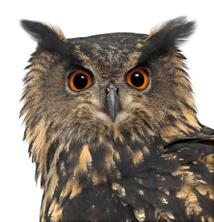 15: Eurasian Eagle-Owl, Bubo bubo, 15 years old, against white background