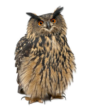 white owl: Eurasian Eagle-Owl, Bubo bubo, 15 years old, standing against white background