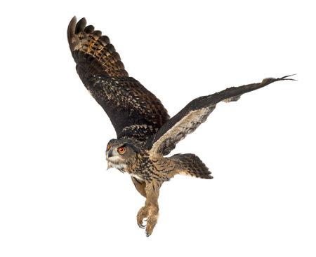 civetta bianca: Eurasian Eagle-Owl, Bubo bubo, 15 anni, volando su sfondo bianco Archivio Fotografico