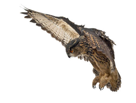 Eurasian Eagle-Owl, Bubo bubo, 15 years old, flying against white background photo