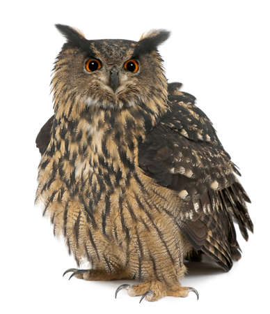 Eurasian Eagle-Owl, Bubo bubo, 15 years old, standing against white background photo
