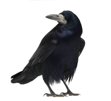 crow: Rook, Corvus frugilegus, 3 years old, standing against white background Stock Photo