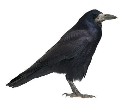 corvus: Torre, Corvus frugilegus, 3 a�os de edad, de pie contra el fondo blanco