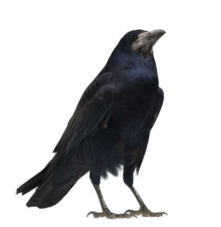the crows: Rook, Corvus frugilegus, 3 years old, standing against white background Stock Photo