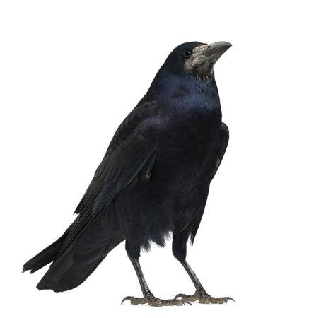 cuervo: Torre, Corvus frugilegus, 3 años de edad, de pie contra el fondo blanco