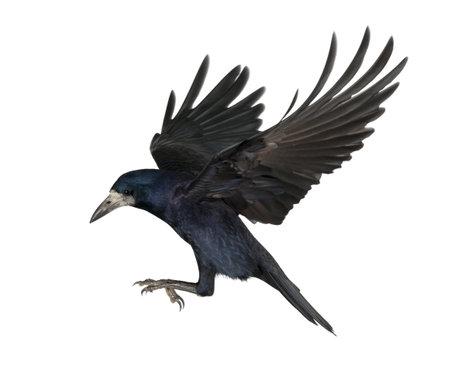 Torre, Corvus frugilegus, 3 años de edad, volando contra el fondo blanco