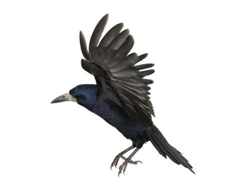 cuervo: Rook, Corvus frugilegus, 3 años, volando contra el fondo blanco