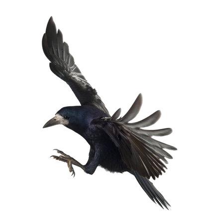corvini: Rook, Corvus frugilegus, 3 anni, in volo su sfondo bianco