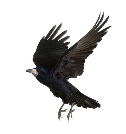 Rook, Corvus frugilegus, 3 Jahre alt, fliegen gegen weißen Hintergrund