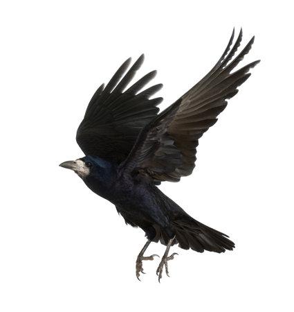 crow: Rook, Corvus frugilegus, 3 years old, flying against white background