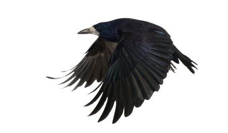 cuervo: Torre, Corvus frugilegus, 3 a�os de edad, volando contra el fondo blanco Foto de archivo