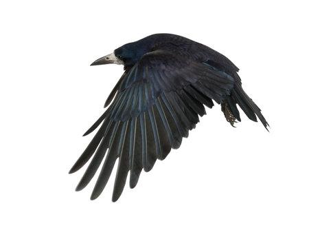 cuervo: Torre, Corvus frugilegus, 3 años de edad, volando contra el fondo blanco Foto de archivo
