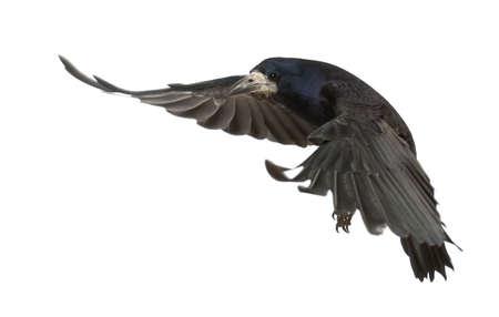 the rook: Rook, Corvus frugilegus, 3 years old, flying against white background