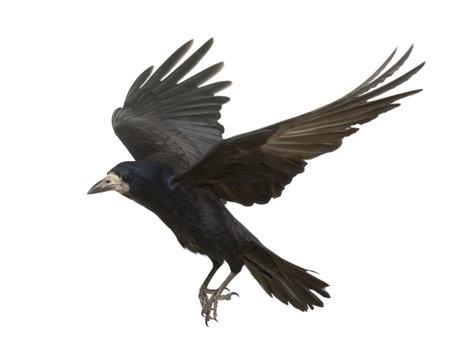 Rook, Corvus frugilegus, 3 lat, pod białym tle