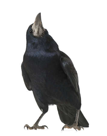 corvini: Rook, Corvus frugilegus, 3 anni, in piedi contro sfondo bianco