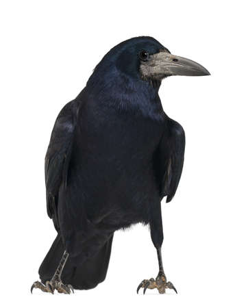 frugilegus: Rook, Corvus frugilegus, 3 years old, standing against white background Stock Photo