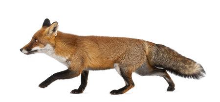 zorro: Zorro rojo, Vulpes vulpes, 4 a�os de edad, caminando contra el fondo blanco Foto de archivo
