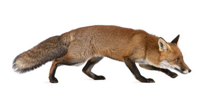 red fox: Red fox, Vulpes vulpes, 4 years old, walking against white background