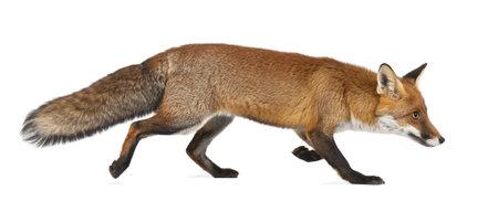 volpe rossa: Volpe rossa, Vulpes vulpes, 4 anni, a piedi contro sfondo bianco