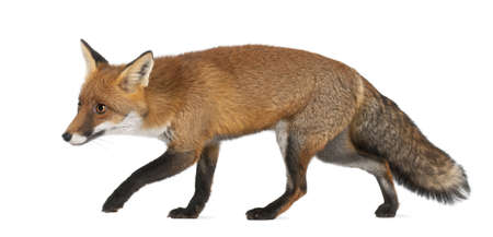 fox: Red fox, Vulpes vulpes, 4 years old, walking against white background