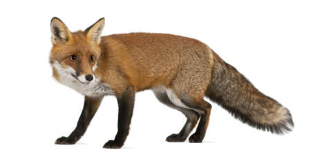walking away: Red fox, Vulpes vulpes, 4 years old, walking against white background