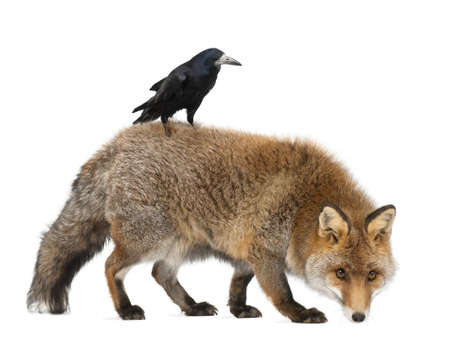 Old Red fox, Vulpes vulpes, 15 years old, and Rook, Corvus frugilegus, 3 years old, walking against white background photo