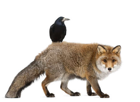Old Red fox, Vulpes vulpes, 15 years old, and Rook, Corvus frugilegus, 3 years old, walking against white background Stock Photo - 14275602
