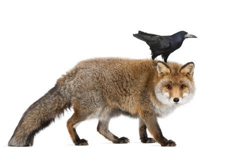 cuervo: Viejo zorro rojo, Vulpes vulpes, de 15 años, y la torre, Corvus frugilegus, 3 años de edad, caminando contra el fondo blanco